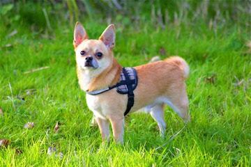 True Tiny Purse Babies - Dog Breeders