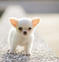 Long Haired Chihuahuas - Dog Breeders
