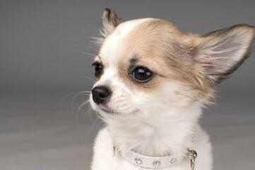 Trish's tiny chihuahuas - Dog Breeders