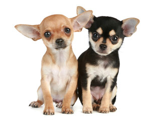 Warwick Chihuahuas- We Have New Puppies! - Dog Breeders