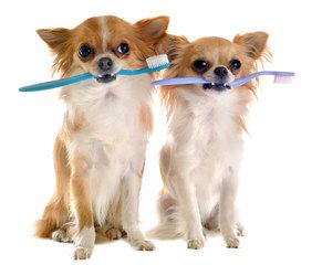 Umpqua Valley Kennels ~ Chihuahuas - Dog Breeders