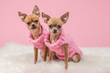 Jones Chihuahuas - Dog Breeders
