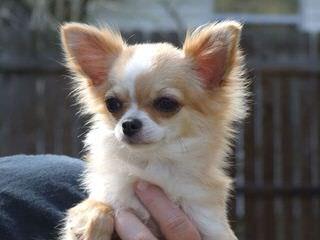 Pocket Pets - Dog Breeders