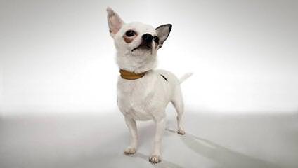 Animal Haus Chihuahuas - Dog Breeders