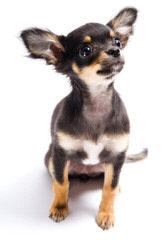 Animal Haus Chihuahuas - Dog Breeders