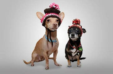 Hidden Treasure Chihuahuas - Dog Breeders