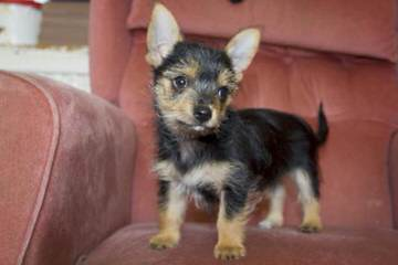 Teacup/Tiny Toy Chihuahuas For Sale - Dog Breeders