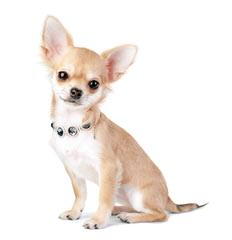 Chihuahuaville Puppies - Dog Breeders