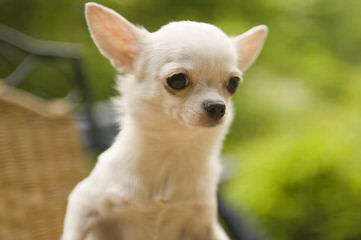Chihuahua At Stud - Dog and Puppy Pictures