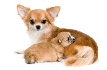 Hidden Treasure Chihuahuas - Dog Breeders