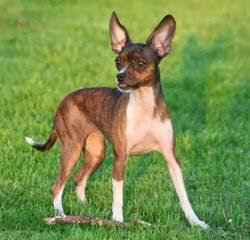 Silver Mountain's - Dog Breeders