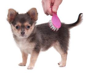 Chi Stud Service - Dog Breeders