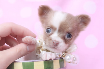 Love At First Sight Chihuahuas - Dog Breeders