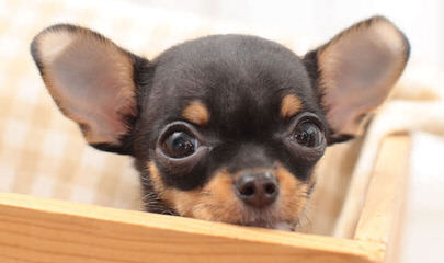 Teeniepaws Chihuahuas - Dog Breeders