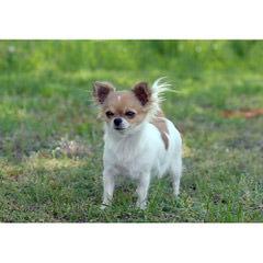 Envi & Casasal Chihuahuas - Dog Breeders