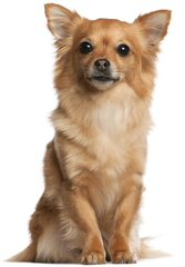 Chi-Shi Pups Ready - Dog Breeders