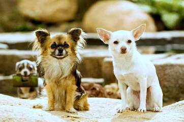 Adult Male Chi Wanted - Dog Breeders