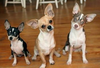 Kelvyn's Lill' Tykes - Dog and Puppy Pictures