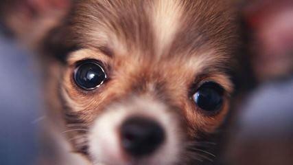 Jasmin's Satrs Chihuahua - Dog Breeders