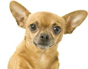 Dj's Premium Chihuahuas - Dog Breeders
