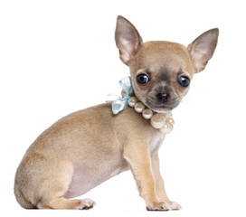 Umpqua Valley Kennels ~ Chihuahuas - Dog Breeders