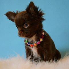 Kimberlys Chihuahuas - Dog Breeders