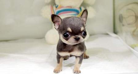 Hidden Treasure Chihuahuas - Dog and Puppy Pictures