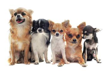 Jones Chihuahuas - Dog Breeders