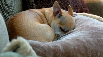 Chihuahuas Wee Love - Dog Breeders
