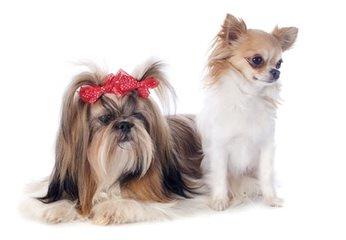 Sarah & Barb's Chihuahuas - Dog Breeders