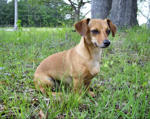 Chiweenie Dogs and Puppies