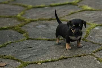 J&J's Chiweenies - Dog and Puppy Pictures