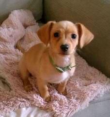 Nicodemis_Johnson Chiweenie - Dog and Puppy Pictures