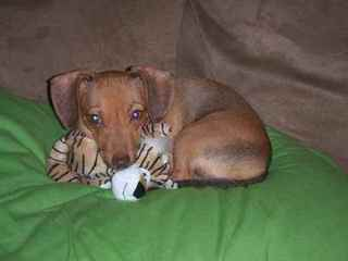 Chiweenies – The Best Of Both Worlds - Dog Breeders
