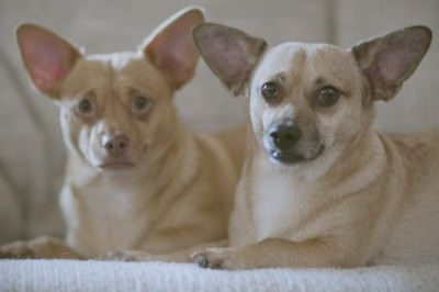 Chiweenie Puppies! - Dog and Puppy Pictures