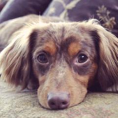 Nicodemis_Johnson Chiweenie - Dog Breeders