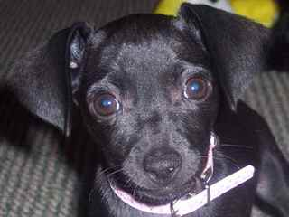Chiweenies Ready For Your Love - Dog and Puppy Pictures