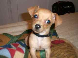 Chiweenies Ready For Your Love - Dog Breeders