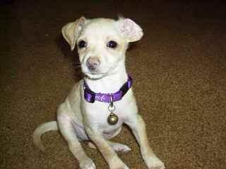 Chiweenie Puppies! - Dog Breeders