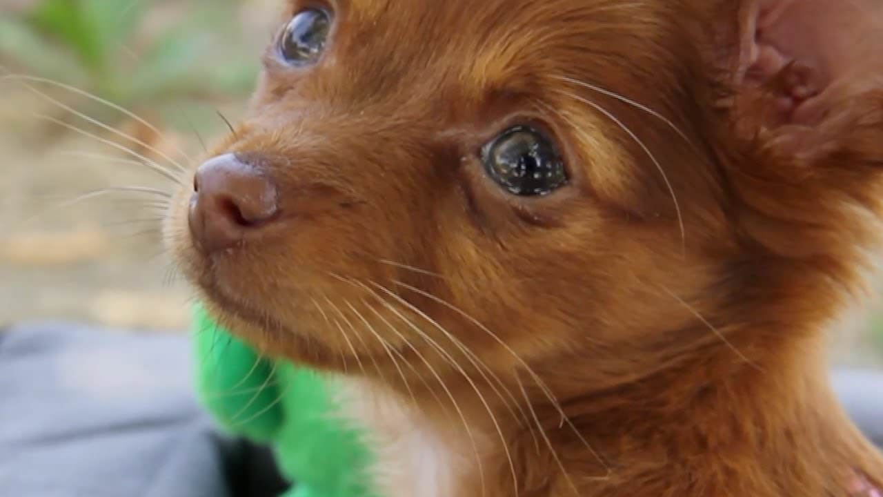 Chorkie Dogs and Puppies