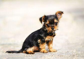 Silver Mist Pugs And Chorkies - Dog Breeders