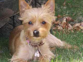 Cc's Charismatic Chorkies - Dog Breeders