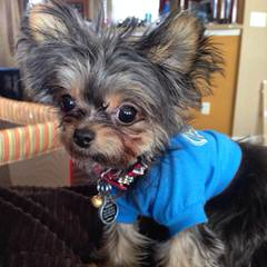 Chorkies For Sale - Dog Breeders
