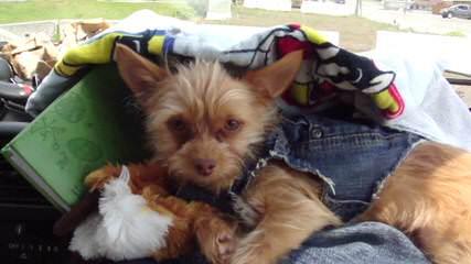 Junior Chorkie - Dog Breeders