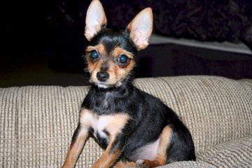 Chorkie - Dog Breeders