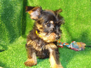 3 Pines Kennels Specializing In Yorkie Mixes - Dog Breeders