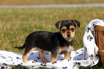 Ma's Chorkies - Dog Breeders