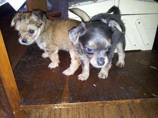 Puggles, Chorkies, Mini Schnauzers And Corgis - Dog Breeders