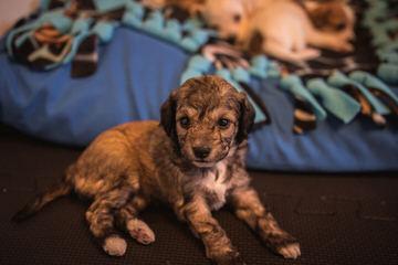 Chorkies - Dog Breeders
