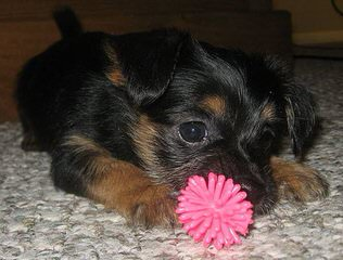 Adorable Chorkie (Yorkie-Chi) Puppies - Dog Breeders